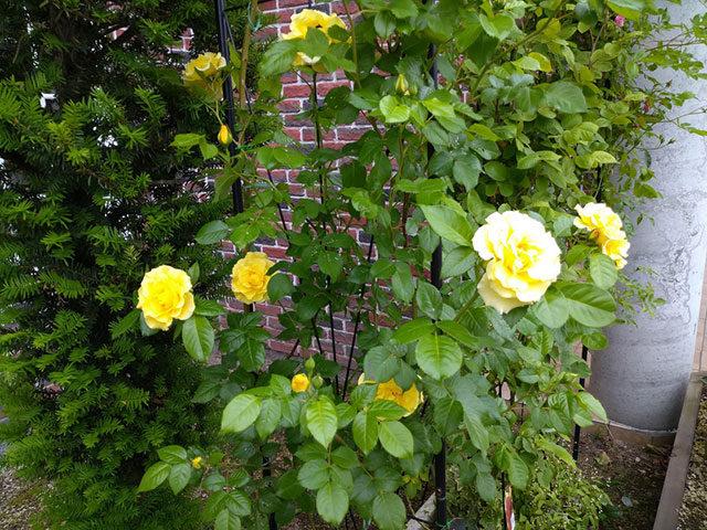 バラのアップ写真